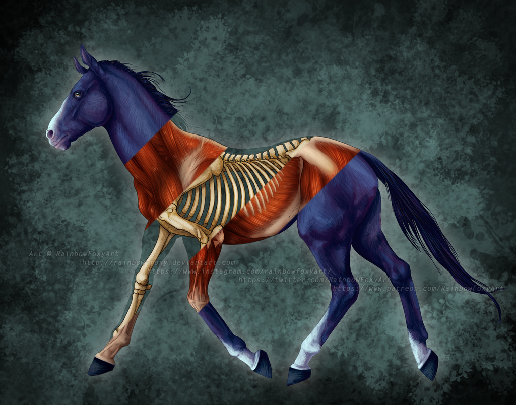 Equine Anatomy Study (layers available)