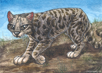 Andean cat ACEO