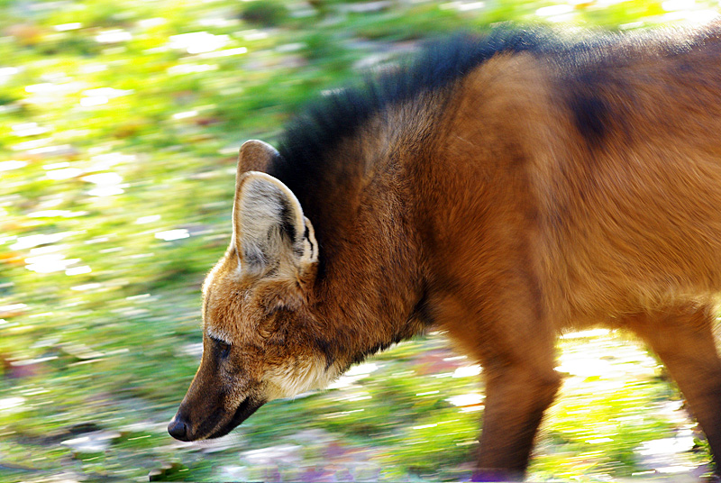 maned wolf on the stroll