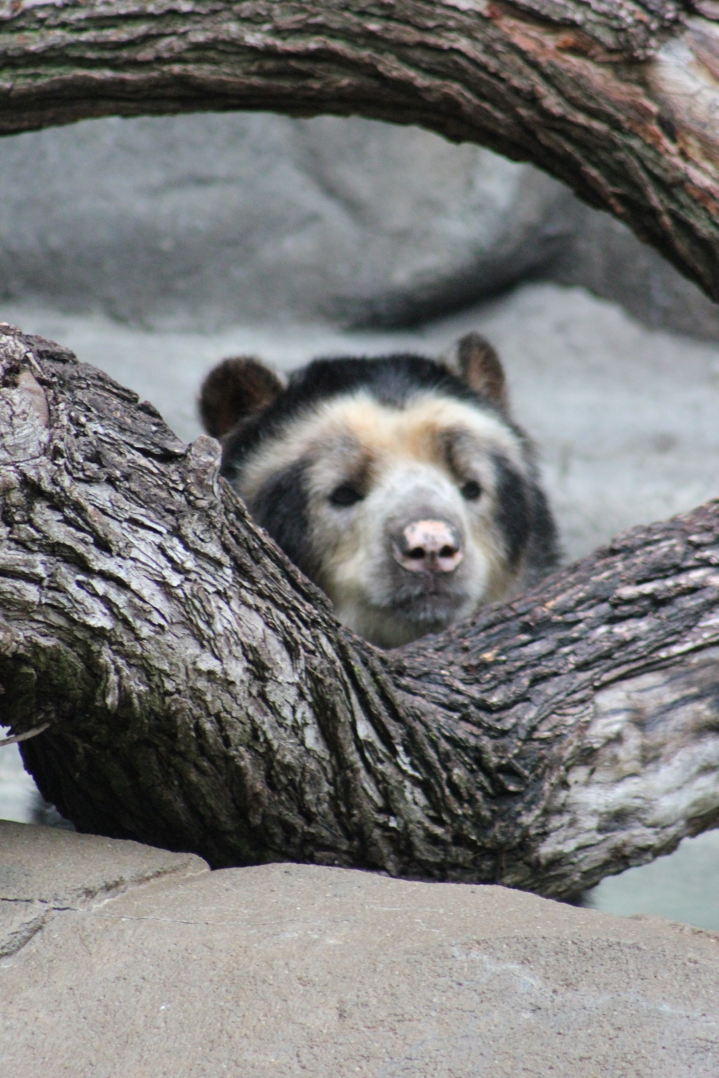 Bear chilling on a log