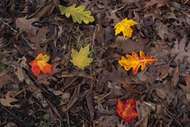 Autumn Leaf Hairclips