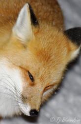 "Red Fox ""Keaton"""