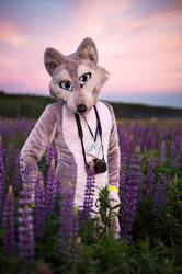 Wolf and Lupinus