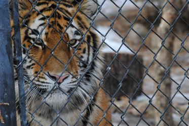 Hunger of the Caged Tiger