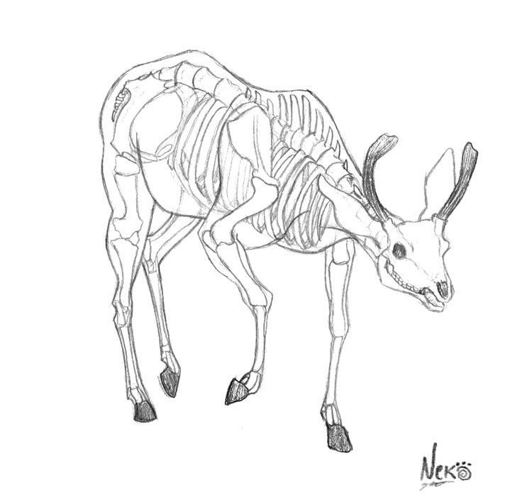 Skeletal Anatomy of a Buck — Weasyl