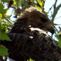 Red-Tailed Hawk Behind Leaves