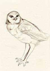 Sketch of a Lil Burrowin' Owl