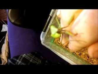 Handling a friendly Giant Asian Green Mantis (Video)