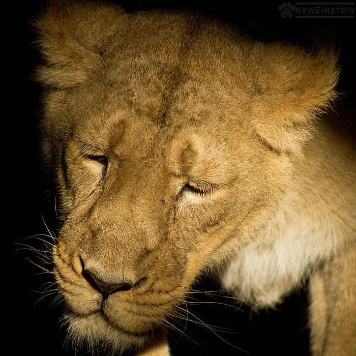 dreamer-lioness