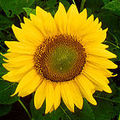 Sunflower arr. by Jay Chattaway