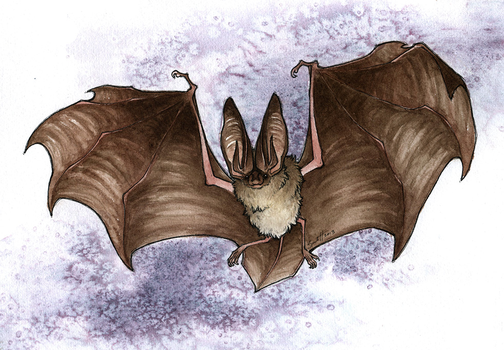 Featured image: Big Earred Bat