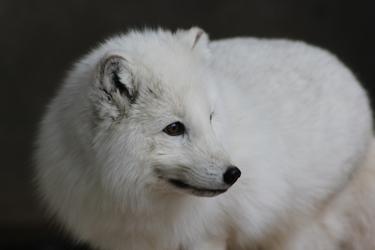 Close Up Arctic Fox