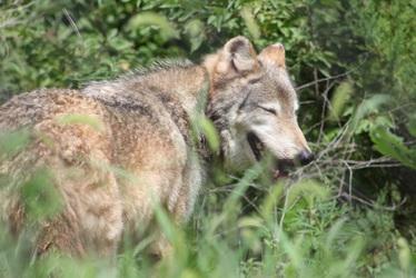 Amused wolf