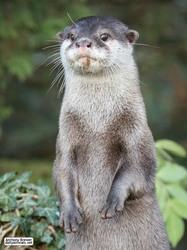 Otter paw-trait