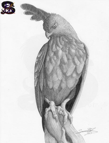 The Changeable Hawk-Eagle #2 - Pencil drawing