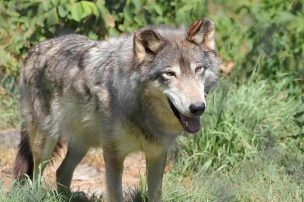 Hello; I'm a Wolf