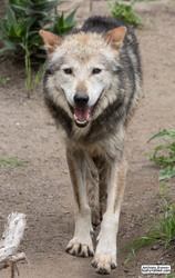 Wolfy grin
