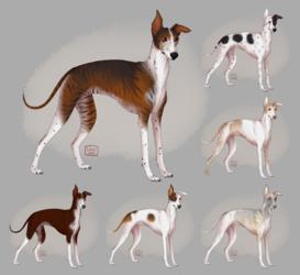 [c] Italian Greyhound