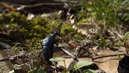 Oil Beetle 2