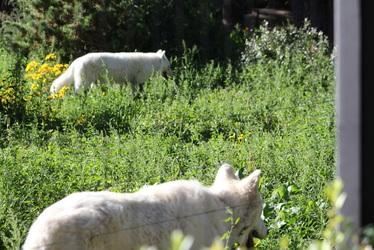 More White Wolves