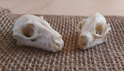 Fruit bat skull replicas