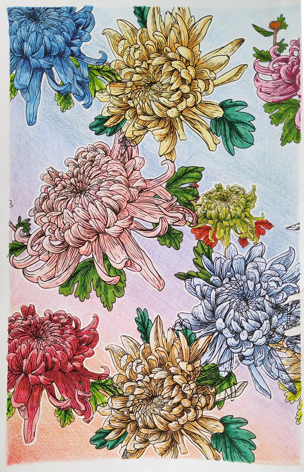 Adult coloring book - chrysanthemums