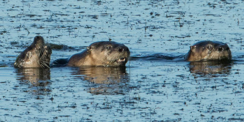 Otters of Rodeo Lagoon