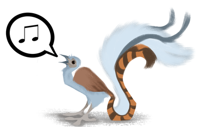 Day 80: Superb Lyrebird