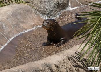 Otter at play
