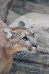 Cougar Eyes