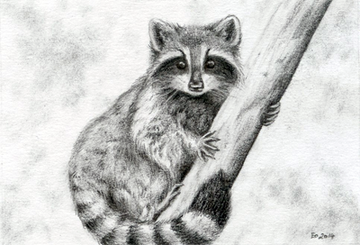 Raccoon Sketch — Weasyl Raccoon Drawing
