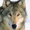 avatar of connorgoodwolf