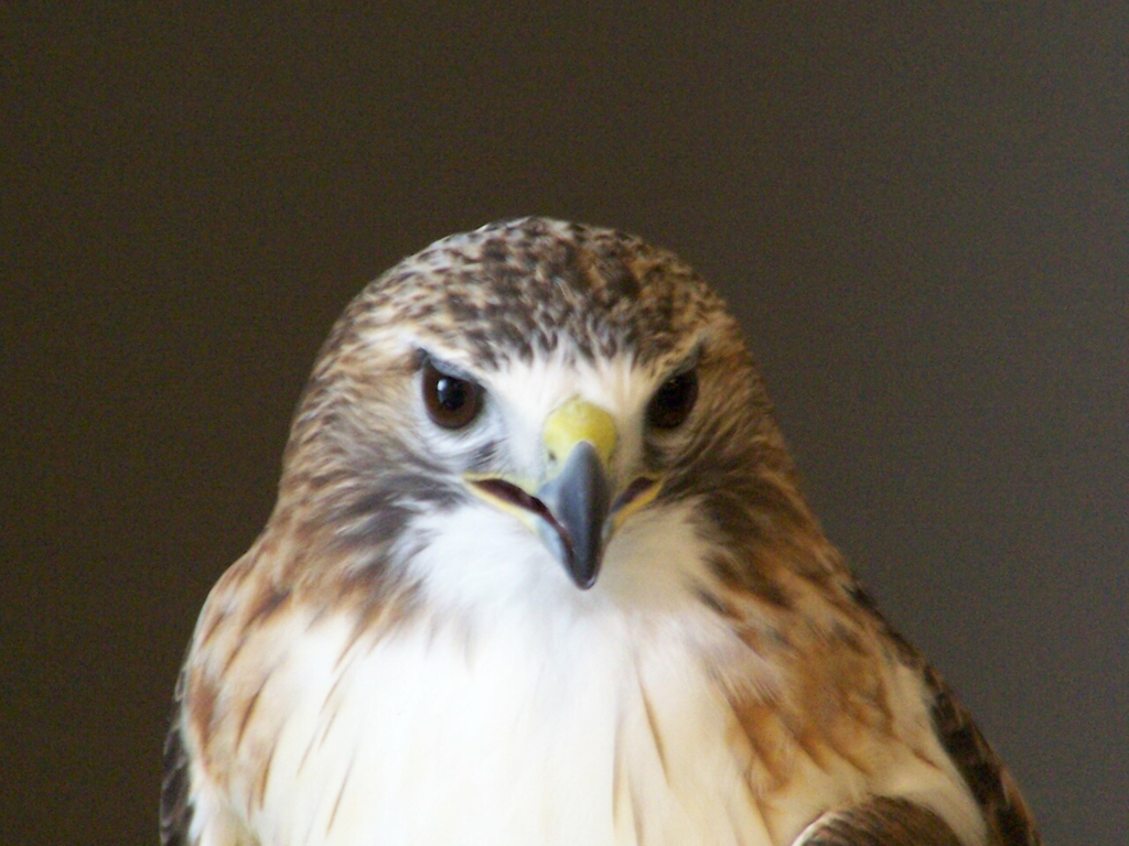 Red-Tailed Hawk from Head On