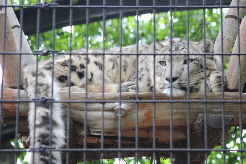 Commission Tab Update Bored Snow Leopard Behind Bars