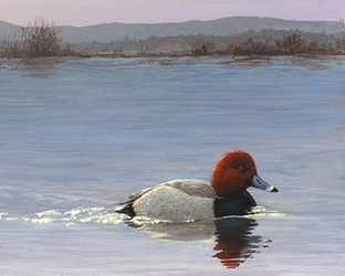 Early Morning - Redhead Duck