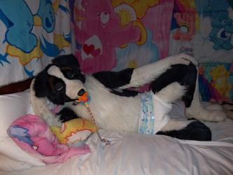 Border Collie in a diaper.
