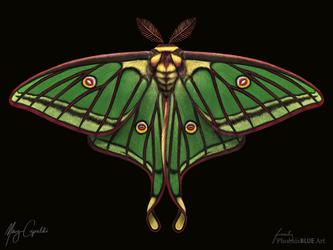 Spanish Moon Moth (Graellsia isabellae)