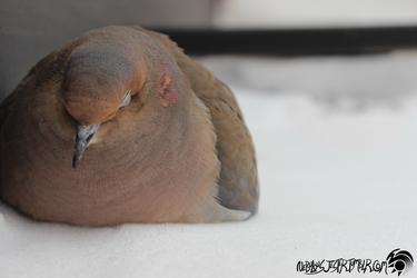 Mo(u)rning Dove