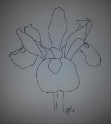 Uncolored Iris