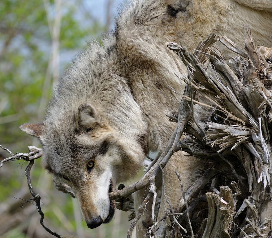 Wolf Park, Spring 2011