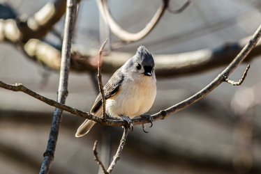 Puffy Tit (Not as sexual as it sounds.)