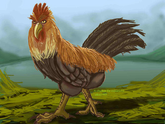 Male Chicken for Romario12