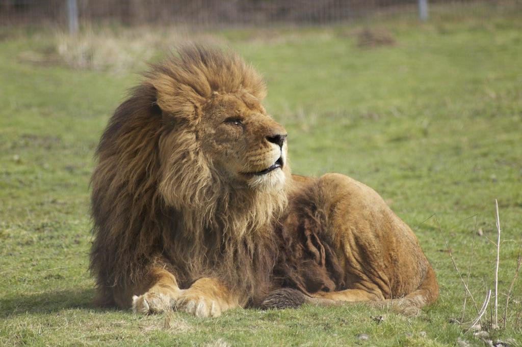 Most recent image: Resting Lion