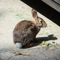 The Rabbit that hangs out in my Front Yard