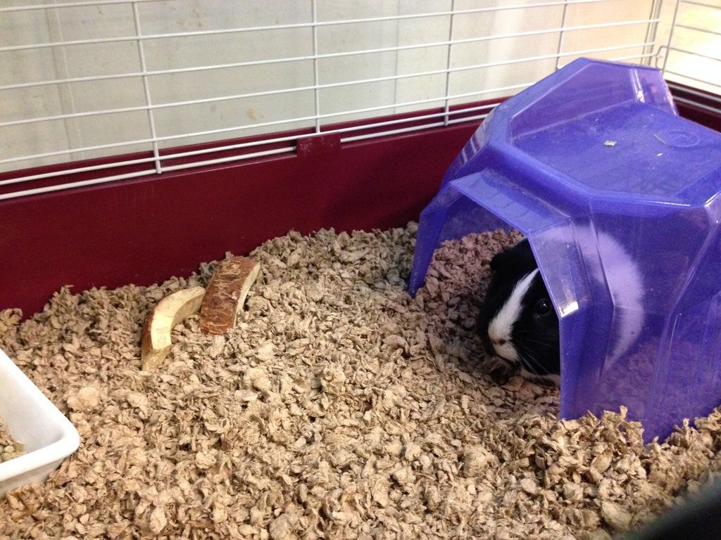 Pepper the guinea pig