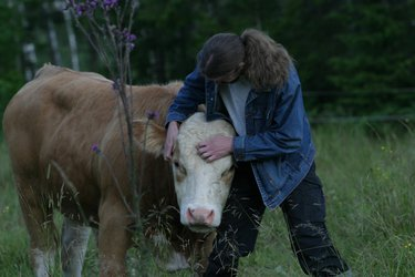 Simmental Bull being sweet