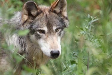 Wolf Mocha