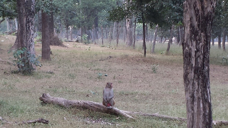Monkey in Pench Tiger Reserve