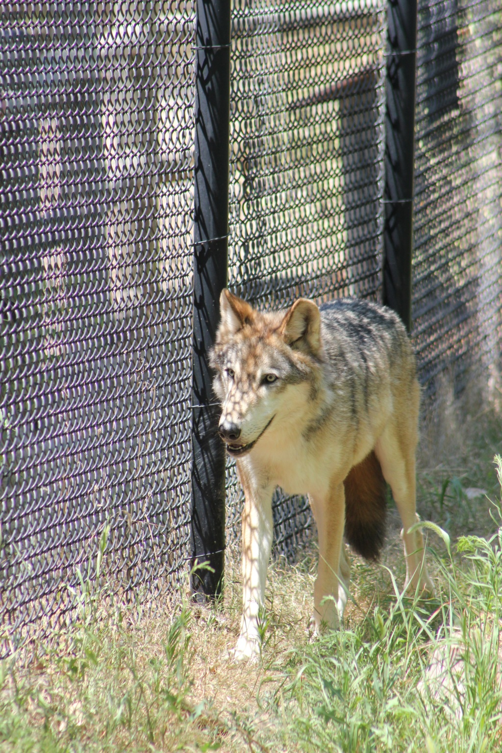 Wolf Along a Fence