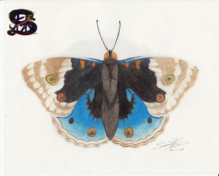 Blue Pansy Butterfly - pencil art
